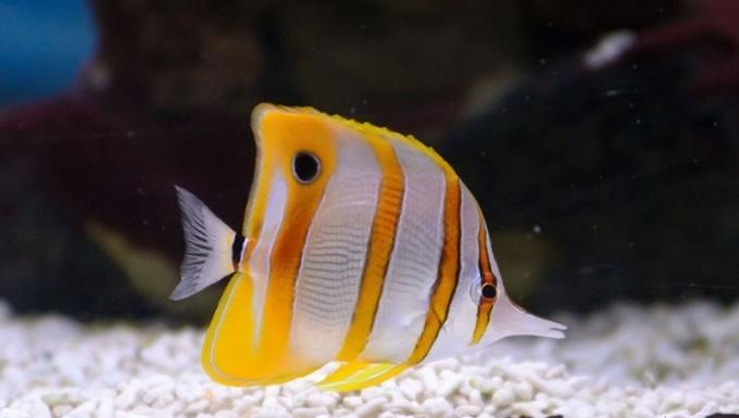 Длиннорылая рыба-бабочка или рыба пинцет или пинцет-хелмон (Chelmon rostratus)