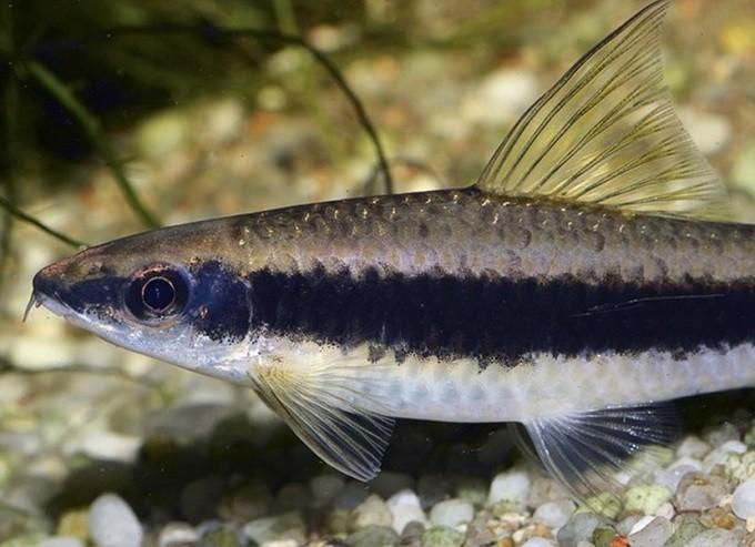 Сиамские водорослееды, отдыхая на дне, опираются на грунт при помощи брюшных плавников и хвоста.
