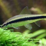 Сиамский водорослеед и другие рыбки, поедающие водоросли