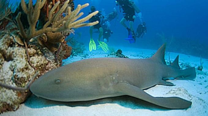 акула нянька 1