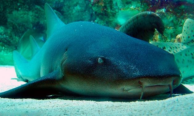 акула нянька 2
