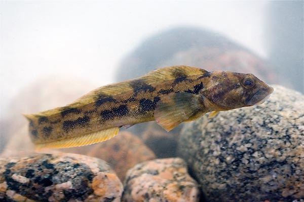 рыба бельдюга 2