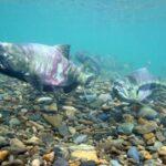 Рыба кета – представитель семейства лососёвых