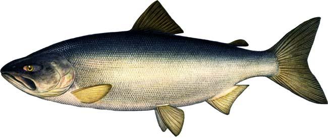 Кета-серебрянка (морской период жизни).