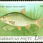 Полупроходная рыба вобла: размножение