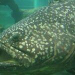Рыба групер – самый крупный окунь в мире