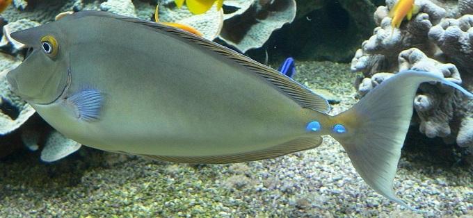 Настоящий носач или однорогая рыба-носорог -Naso unicornis