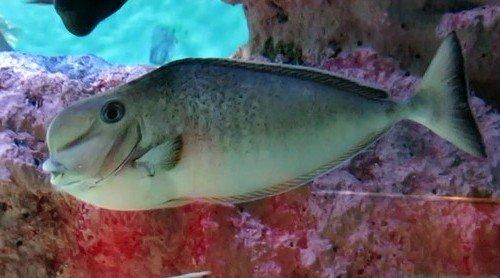 рыба единорог 5