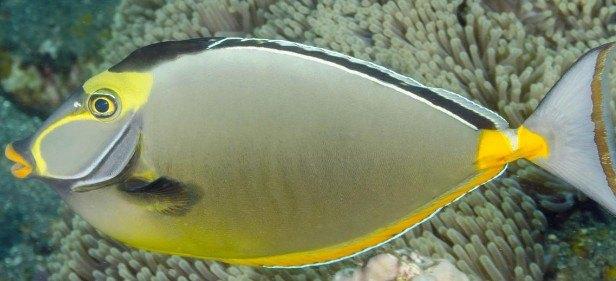 Оранжевоиглый носорог Naso lituratus