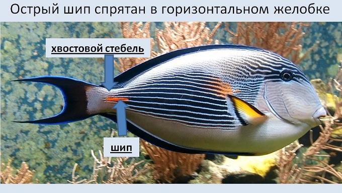 рыба хирург 1