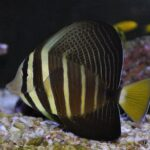 Полосатая рыба-зебрасома и её одноцветные родственники