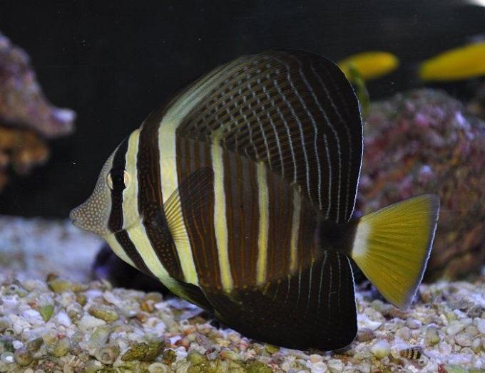 Zebrasoma veliferum (чернополосая или тихоокеанская)