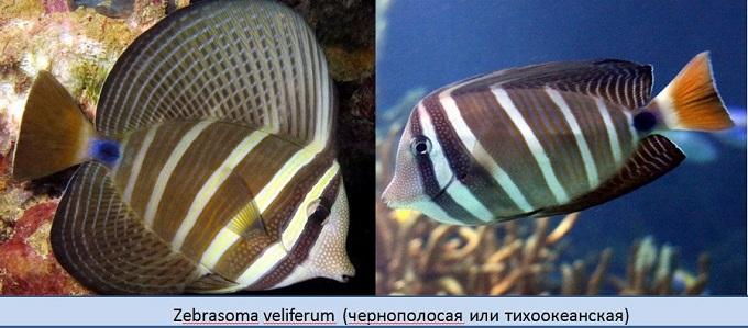 полосатая рыба 5