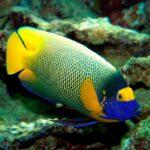 Рыба ангел: ангельская красота и острый шип на жаберной крышке