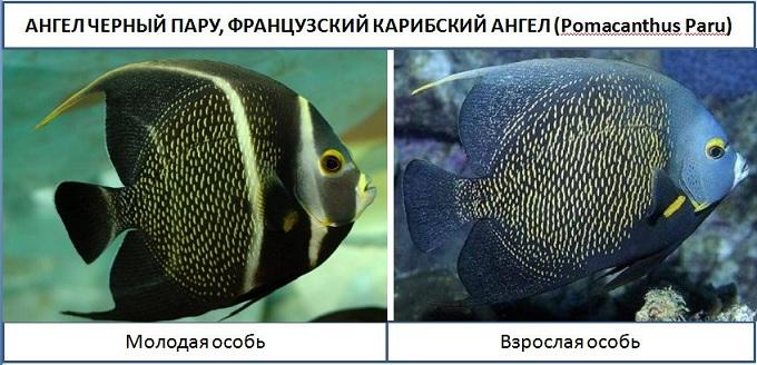 рыба ангел 2