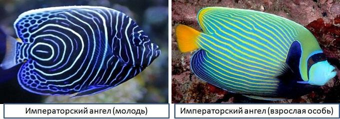 рыба ангел 3