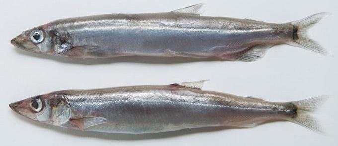рыба мойва 1
